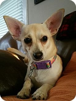 Chihuahua Mix Dog for adoption in Woodbine, New Jersey - Gloria