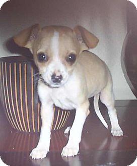 Chihuahua Mix Puppy for adoption in La Jolla, California - blitzen (Sofee Roo)
