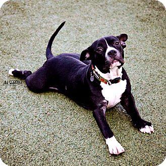 Staffordshire Bull Terrier/Bulldog Mix Dog for adoption in Houston, Texas - Bonnie