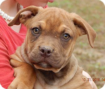 German Shepherd Dog/English Bulldog Mix Puppy for adoption in Williamsport, Maryland - Warrior (11 lb) New Pic/Video