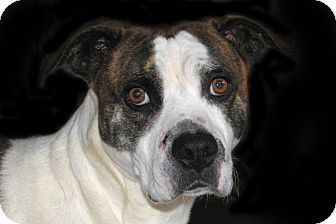 Boxer/American Pit Bull Terrier Mix Dog for adoption in Ruidoso, New Mexico - Czar