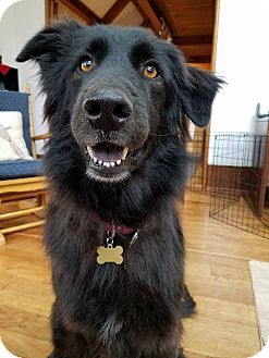 Newfoundland Mix Dog for adoption in New Oxford, Pennsylvania - Indie Girl