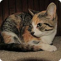 Calico Kitten for adoption in Norwich, New York - Rhea