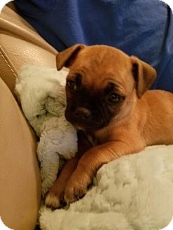 Pug Mix Puppy for adoption in Fort Atkinson, Wisconsin - Bubbles