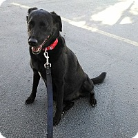 Border Collie/Labrador Retriever Mix Dog for adoption in E. Wenatchee, Washington - Mattie