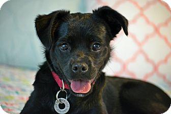 Pug/Labrador Retriever Mix Puppy for adoption in Southington, Connecticut - Lettie Faye