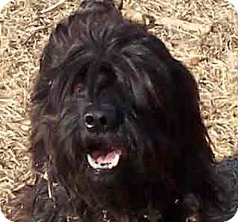 Lhasa Apso Mix Dog for adoption in Guthrie, Oklahoma - Brother