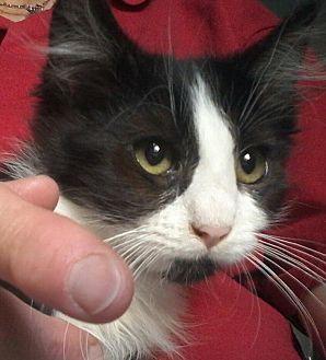 Domestic Mediumhair Kitten for adoption in Culver City, California - Dino