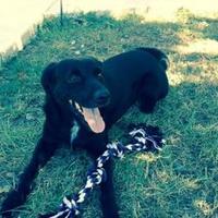 Adopt A Pet :: Callie - Schertz, TX