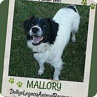 Adopt A Pet :: MALLORY - Lincoln, NE