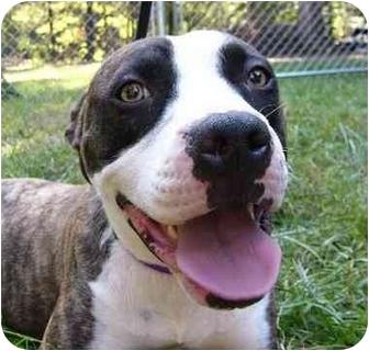 American Bulldog/Boston Terrier Mix Dog for adoption in Mocksville, North Carolina - Belle