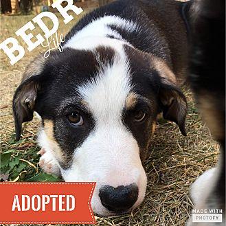 Collie/Bernese Mountain Dog Mix Puppy for adoption in Regina, Saskatchewan - Raj