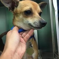 Adopt A Pet :: DiCaprio - Auburn, AL