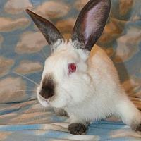 Adopt A Pet :: Cosmo - Alexandria, VA