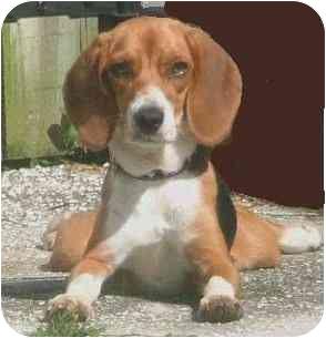 Beagle Dog for adoption in Palm Bay, Florida - Chloe