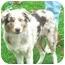 Photo 2 - Australian Shepherd Puppy for adoption in Austin, Minnesota - Speedy