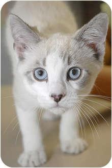 Siamese Kitten for adoption in Murphysboro, Illinois - Starbuck