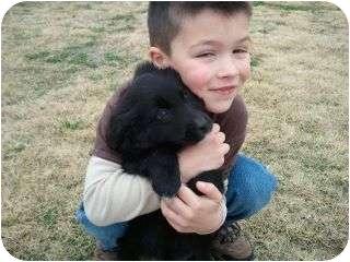 Golden Retriever/Australian Shepherd Mix Puppy for adoption in harrah, Oklahoma - Pup f 2