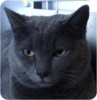 Domestic Shorthair Cat for adoption in El Cajon, California - Miss Blue