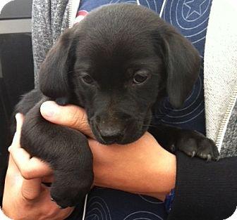 Golden Retriever Mix Puppy for adoption in Nuevo, California - Chaz