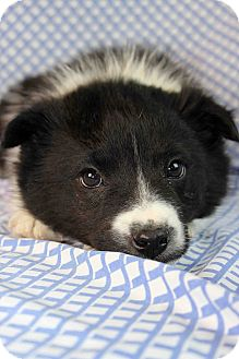 Border Collie/Blue Heeler Mix Puppy for adoption in Westminster, Colorado - Shred