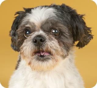 Shih Tzu Dog for adoption in Chicago, Illinois - Balony