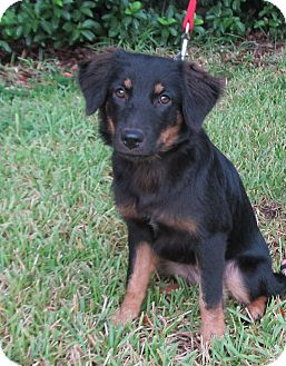 Australian Shepherd Dog for adoption in Kingwood, Texas - Ellie