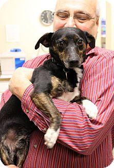 Terrier (Unknown Type, Small)/Dachshund Mix Dog for adoption in Cincinnati, Ohio - Ivan: Delhi