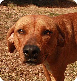 Labrador Retriever/Hound (Unknown Type) Mix Dog for adoption in Hagerstown, Maryland - Cassie(adoption fee $200)