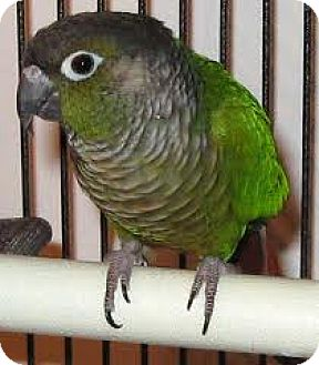 Conure for adoption in Burleson, Texas - Crackers&Jelly