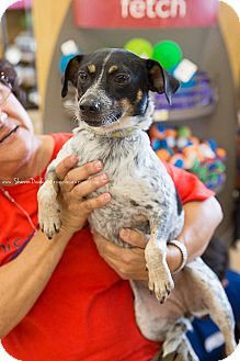 Cattle Dog Mix Dog for adoption in Homestead, Florida - Cricket