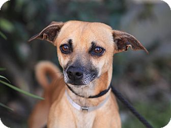 Dachshund Mix Dog for adoption in Long Beach, California - Charleston