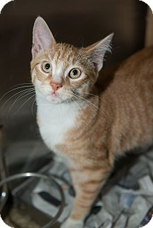 Domestic Shorthair Cat for adoption in New York, New York - Antony