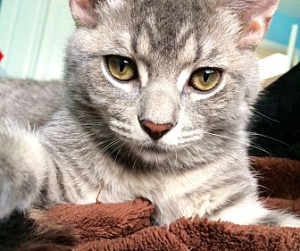Domestic Shorthair Cat for adoption in St. Charles, Illinois - Mouse