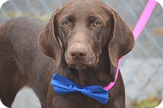 Hound (Unknown Type)/Labrador Retriever Mix Dog for adoption in Morgantown, West Virginia - Sarris