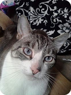 Domestic Shorthair Cat for adoption in Morristown, New Jersey - Smokey