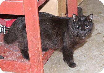 Domestic Longhair Cat for adoption in Sylvania, Georgia - Inky