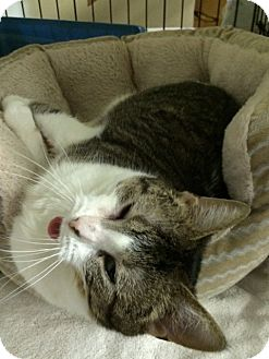 Domestic Shorthair Cat for adoption in Byron Center, Michigan - Detroit Mama