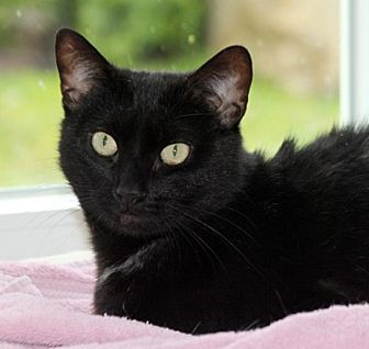 Domestic Shorthair Cat for adoption in Harrison, New York - Sunflower