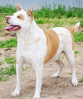 Pit Bull Terrier/Labrador Retriever Mix Dog for adoption in Iola, Texas - Mickey