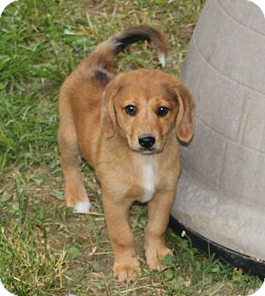 Redbone Coonhound/Black and Tan Coonhound Mix Puppy for adoption in Staunton, Virginia - SunRay
