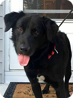 Flat-Coated Retriever Mix Dog for adoption in New Canaan, Connecticut - Oscar
