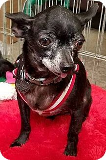 Chihuahua Mix Dog for adoption in San Diego, California - Murray