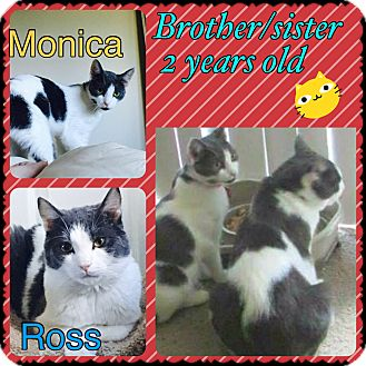 Domestic Shorthair Cat for adoption in Brentwood, New York - Ross