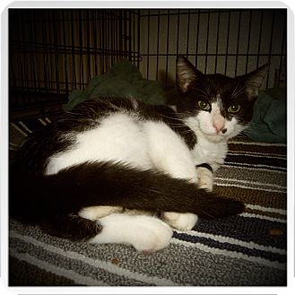 Domestic Shorthair Cat for adoption in Medford, Wisconsin - BRENTLEY