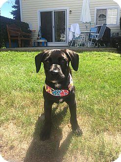 Labrador Retriever Mix Puppy for adoption in Elgin, Illinois - Bella