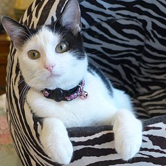 Domestic Shorthair Cat for adoption in Aurora, Illinois - Vala