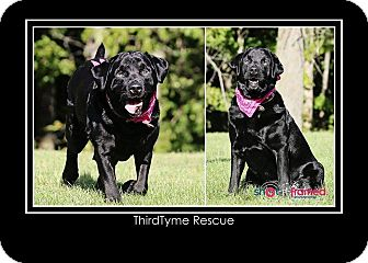 Labrador Retriever Dog for adoption in Mount Gilead, Ohio - Carlie