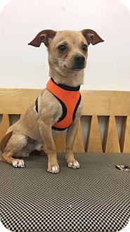 Chihuahua Mix Dog for adoption in Valencia, California - Peanut