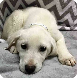 Great Pyrenees Mix Puppy for adoption in Gahanna, Ohio - ADOPTED!!!   Joni